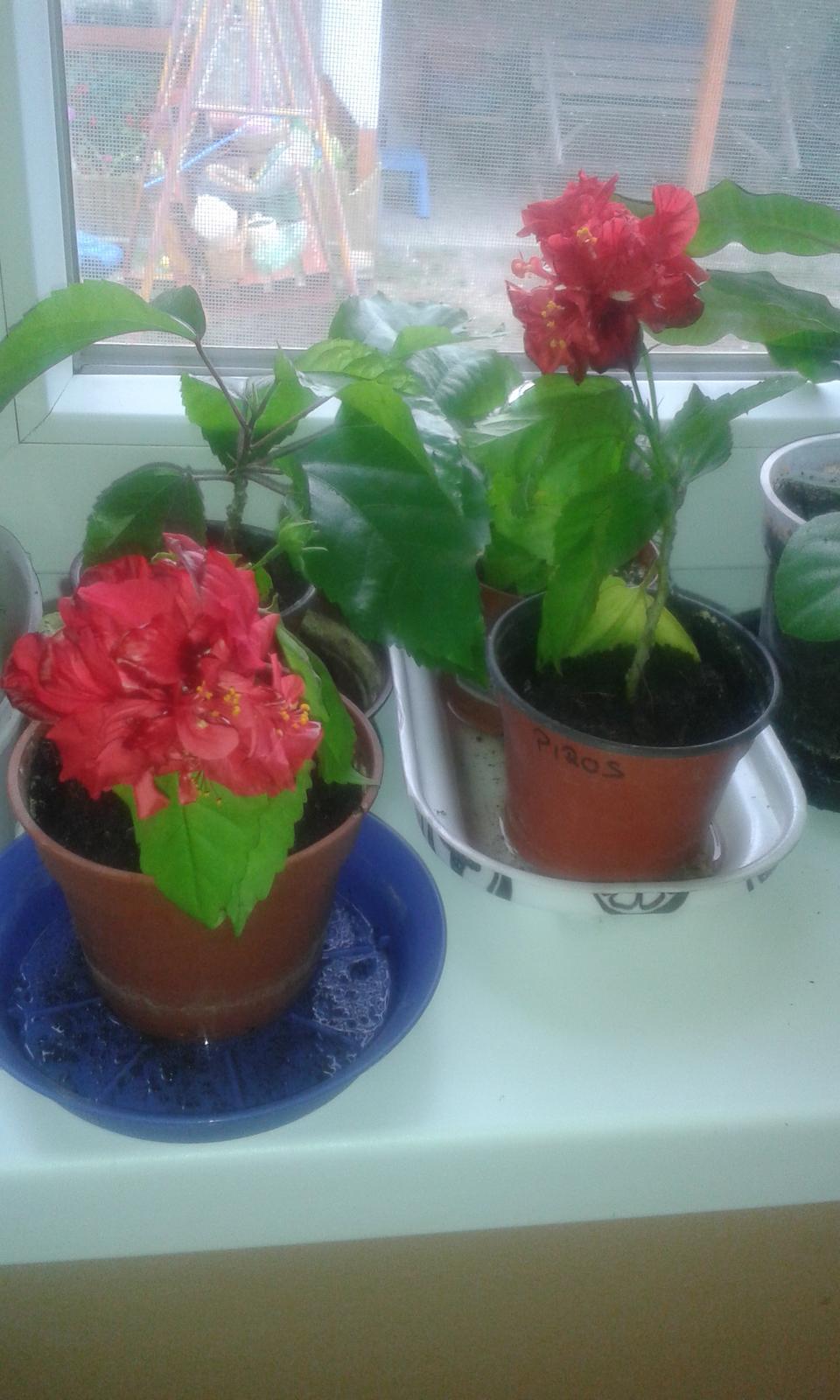 Čínska ruža červená - Obrázok č. 1