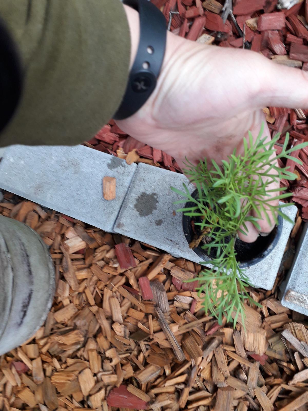 Krasulka perovitá,sadenice - Obrázok č. 1