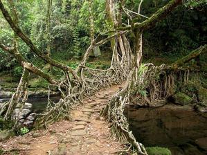 Generácie Indov postupne ohýbajú korene stromov do tvarov mostov