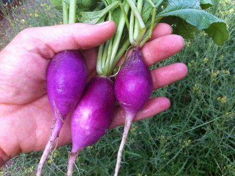 Reďkovka Purple plum - Obrázok č. 1