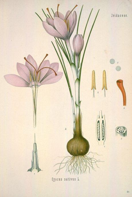 Šafrán pravý - 10 cibuliek - Obrázok č. 3