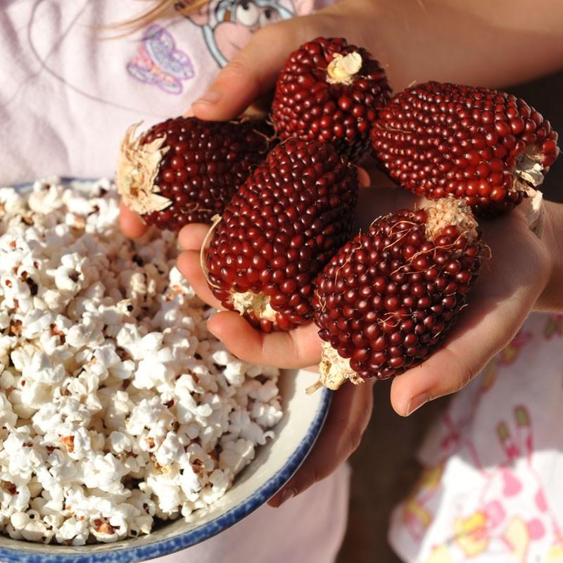 Kukurica Jahodový Popcorn - Obrázok č. 1