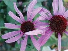 Echinacea purpurea - Obrázok č. 1