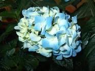 modrá hortenzia,aby ladila výzdoba