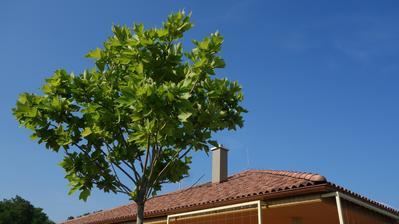 Platan - platanus acerifolia 'alphens globe'