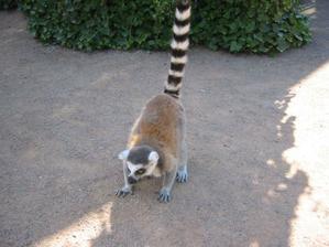 zvědavý lemur kata
