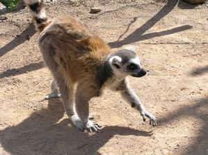 Lemur se blíží