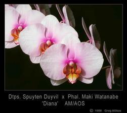 svadobna kytica z takychto orchidei