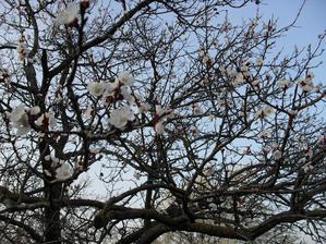 9.4. kvitnúca stará marhuľa