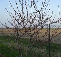 9.4. začína kvitnúť broskyňa