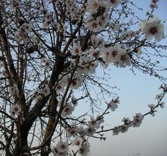 9.4. rozkvitnutá mandľa