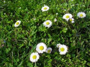 11.4. Sedmokráska obyčajná - každý rok pribúda viac a viac