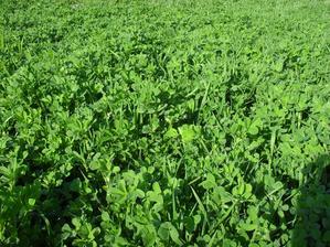 14.4. lucerna siata, miestami výška 20 - 30 cm, bude slúžiť na zelené hnojenie