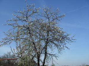 14.4. stará čerešňa začína kvitnúť