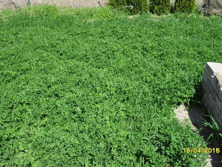 Pestovanie zemiakov v slame - bezorbové pestovanie 2015 - Výber miesta - lucerna siata už svoju prácu vykonala, pôjdu tam zemiaky.
