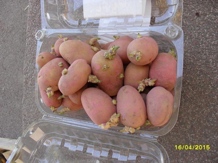 Pestovanie zemiakov v slame - bezorbové pestovanie 2015 - Odroda Vivaldi, 28-35 mm, cca 1,2kg a cca 45ks