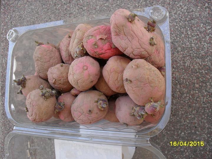 Pestovanie zemiakov v slame - bezorbové pestovanie 2015 - Odroda Victoria, 28-35 mm, cca 1,2kg a cca 45ks