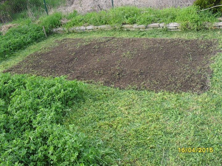 Pestovanie zemiakov v slame - bezorbové pestovanie 2015 - na pokosenú lucernu išli 3 fúriky kompostu