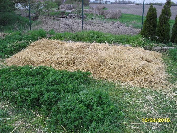 Pestovanie zemiakov v slame - bezorbové pestovanie 2015 - slama nakoniec, výška približne 30 cm. Na záver bola slama poliata vodou.