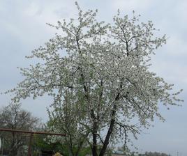 17.4. čerešna v plnom kvete, už nahadzuje listy.