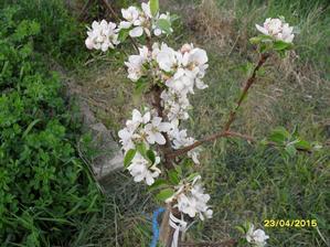 mladá jabloň