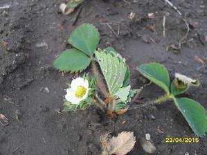 konečne zakvitli aj jahody. Presádzané v apríli, stáloplodiace, trojročné. Uvidíme či z nich niečo bude.
