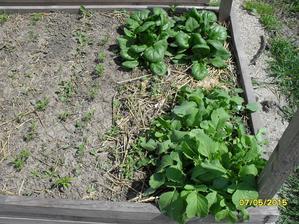 reďkovka + špenát. a Konečne sa ukazuje aj mrkva v riadkoch. Plus ešte nejaká mrkva je ukrytá pod reďkovkami.