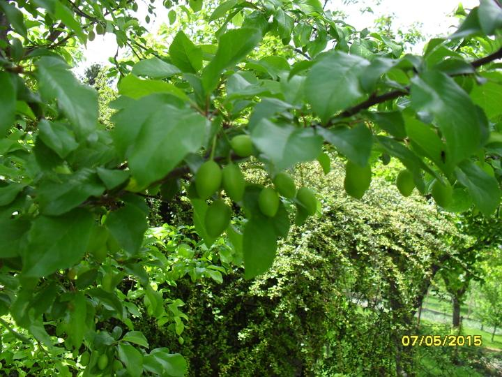 Záhrada 2015 - mirabelky