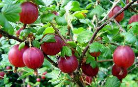 Zahrada - cerveny egres Hinnonmaki Rot