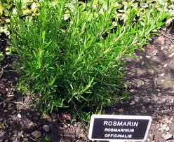 Zahrada - Rozmarin
