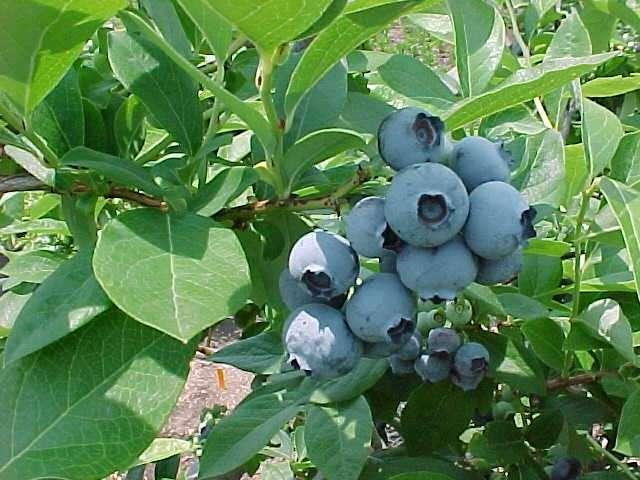 Zahrada - cucoriedka