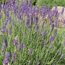 Zahrada - levandula Hidcote
