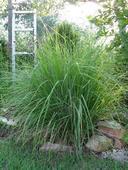 Okrasná tráva perovec Hameln, veľké korene.,