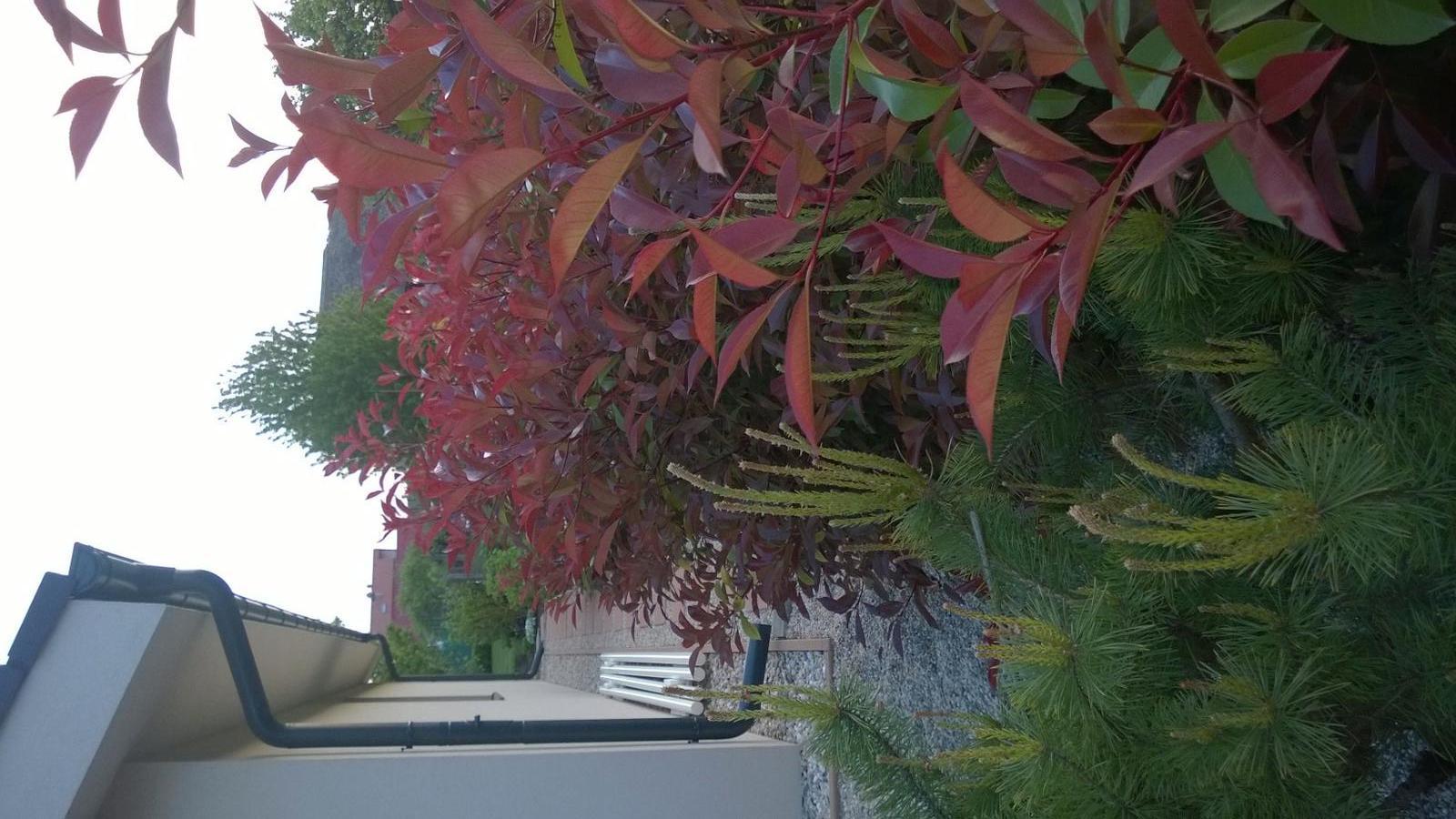 Záhrada - Red robin, červienka na jar