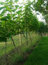 Živý plot z viniča a levandulí