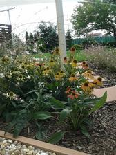 echinacea, ktorá je rôznych farieb, dokonca na jednej rastline