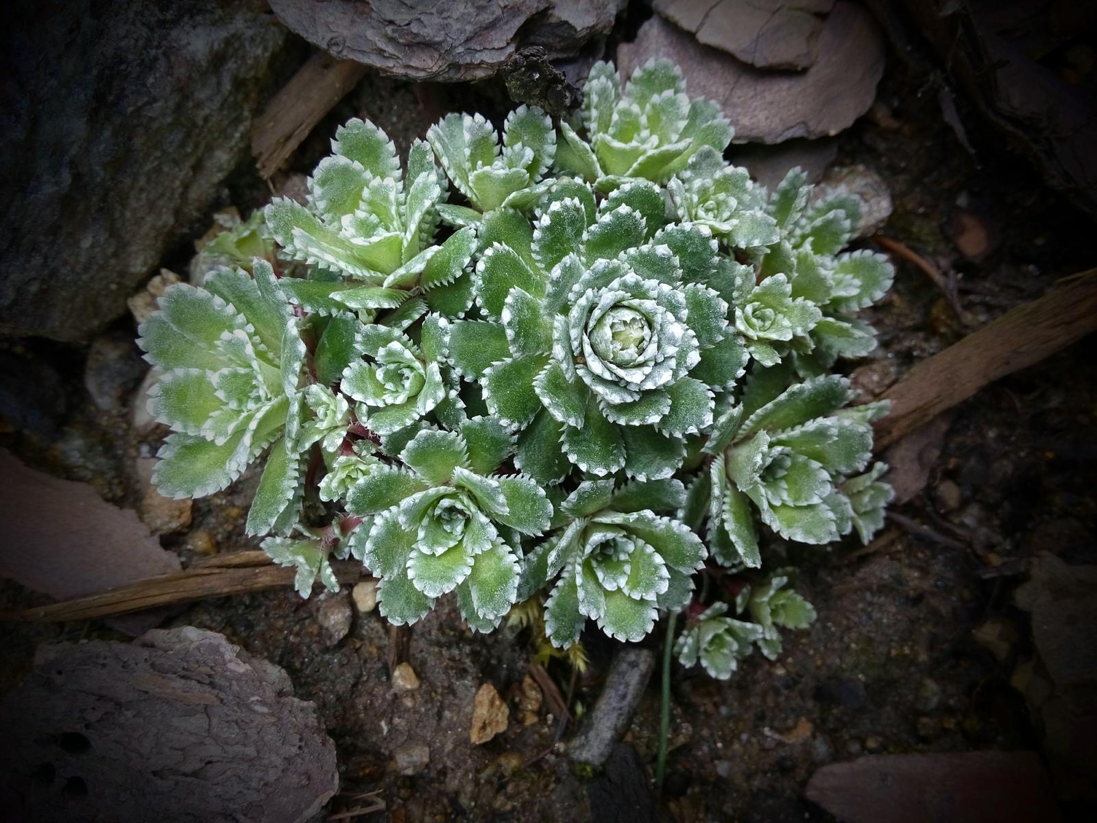 Moje skalničky a zahrádka - Lomikamen zelenostribrny