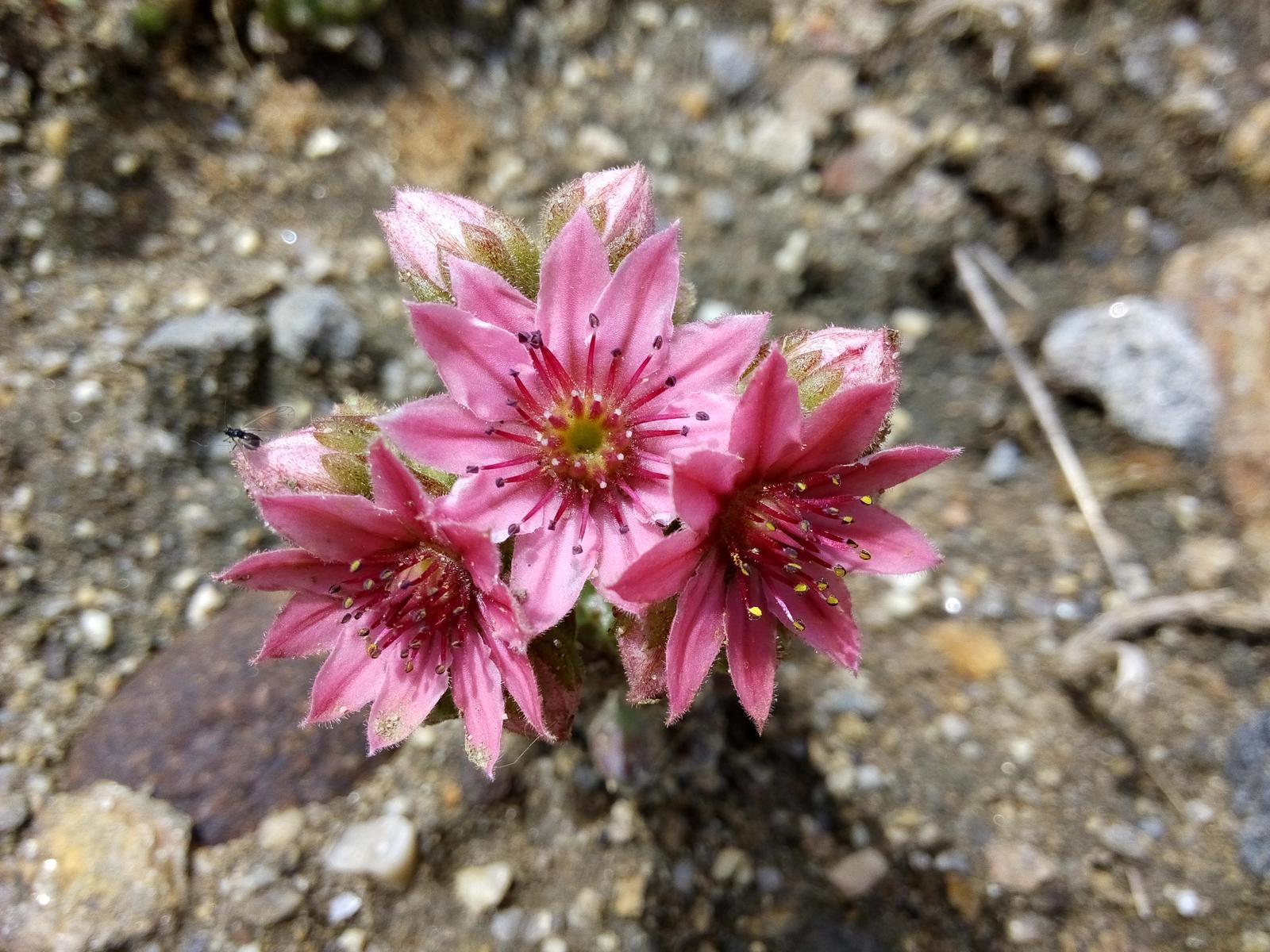 Moje skalničky a zahrádka - Květ netřesku