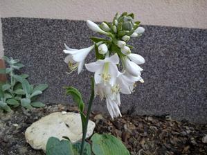Květ hosty