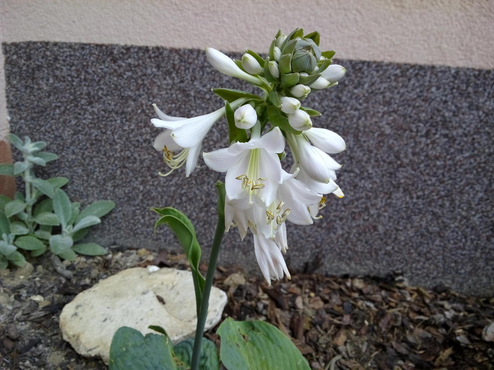 Moje skalničky a zahrádka - Květ hosty