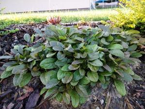 Zběhovec zelené listy