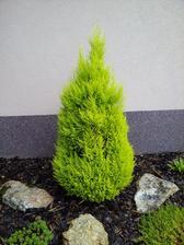 """Po 3 letech jsem zjistila, že tento cypřišek je pokojovka:-D Sice vždy po zimě některé větve zčernají, ale zase vždy """"obživne"""":-))) tak uvidíme, kolik zim ještě venku vzládne:-D Byl to maličký stromek, když jsem ho dostala.. viz další foto"""