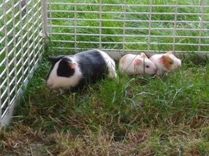 Ehmmmm... někde se stala chyba..... PS: Soused nám dal morčecí miminko měsíční přes plot, ale ono už bylo těhotný:-D