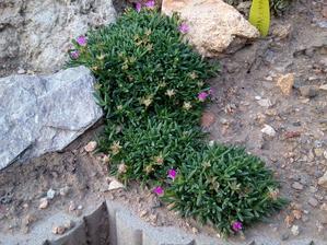 02. Delosperma fialovobílá (35)