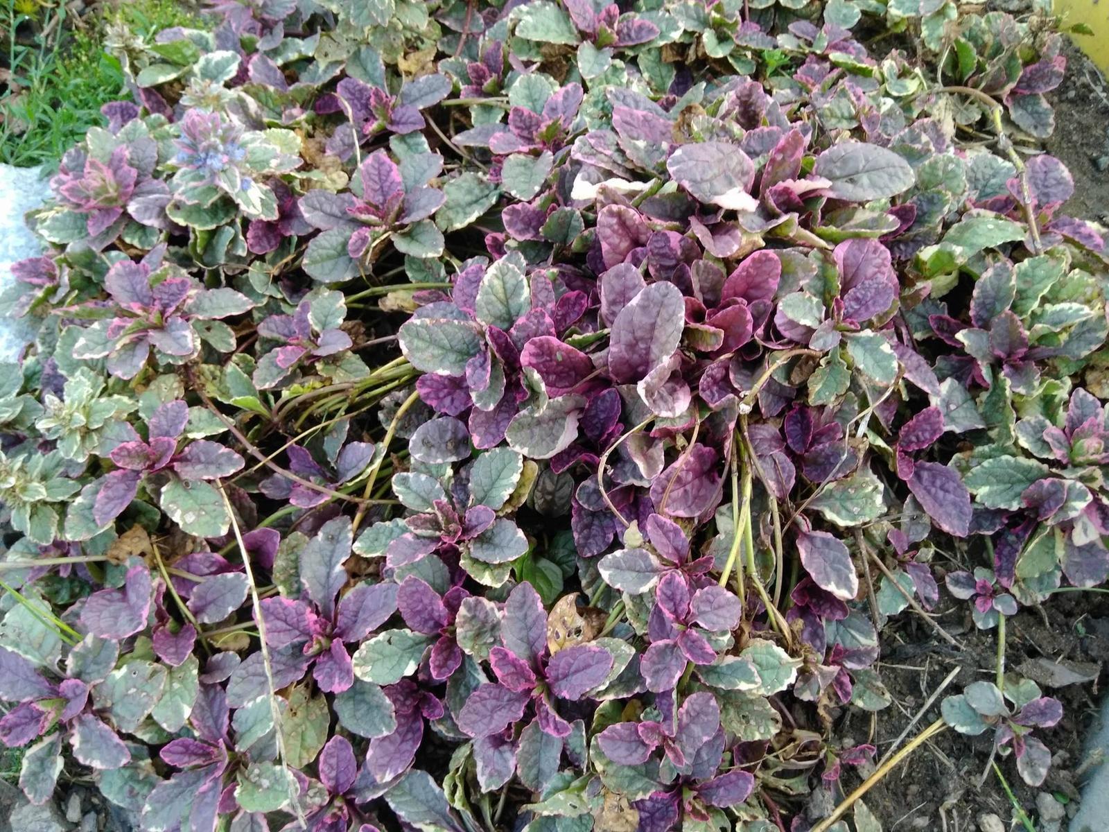 Skalničky - trvalky z mé zahrádky - 026. Zběhovec tricolor (list zeleno-bílo-růžový) (30)