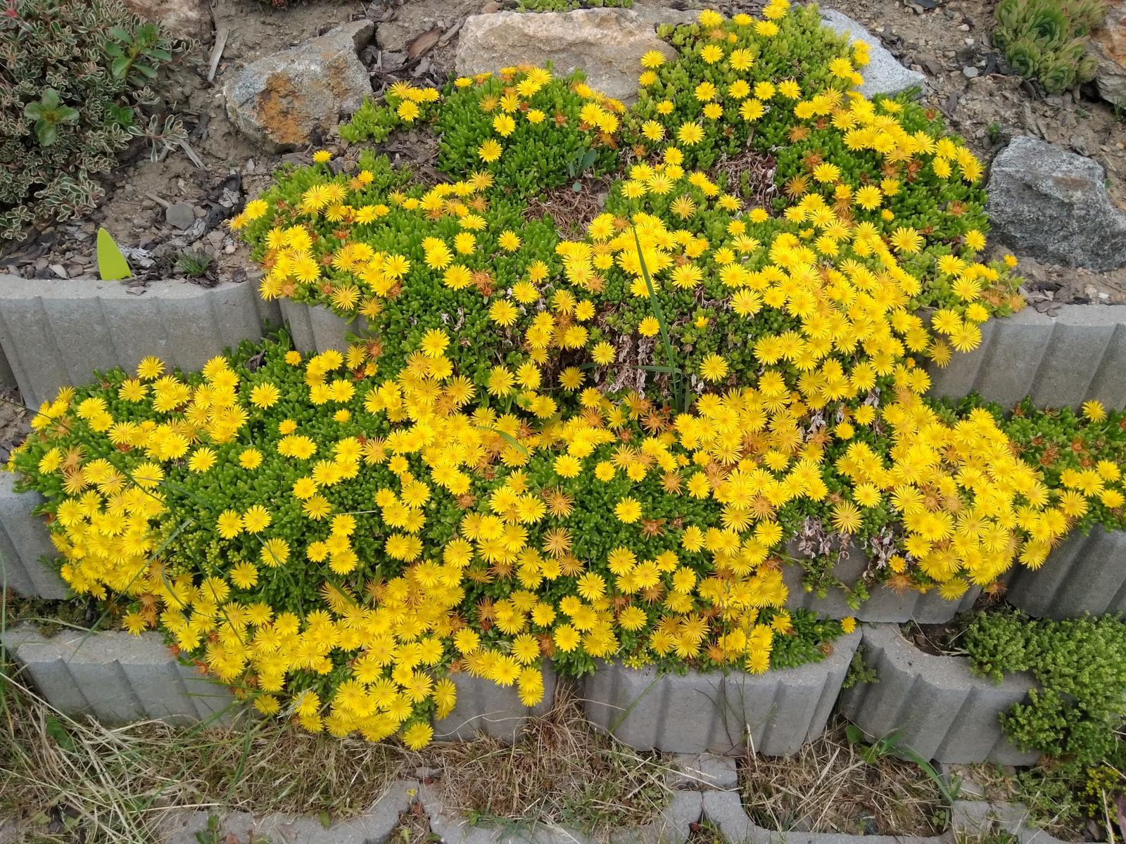 Skalničky - trvalky z mé zahrádky - 01. Delosperma žlutá (35)