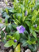 Barvínek - fialové květy,