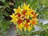 Rozchodník - žlutočervený květ,
