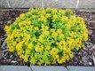 Rozchodník žlutý květ,