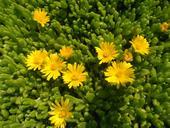 Delosperma - žlutý květ,